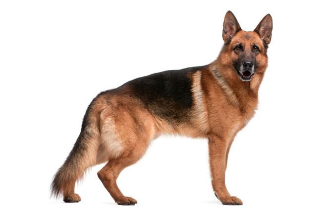 Guia de Raças no Mãe de Cachorro: Pastor Alemão